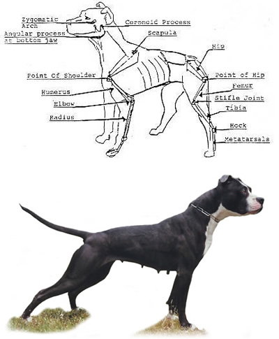 Bezzi S Kennel The History Of The American Pit Bull
